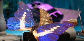morpho-butterfly